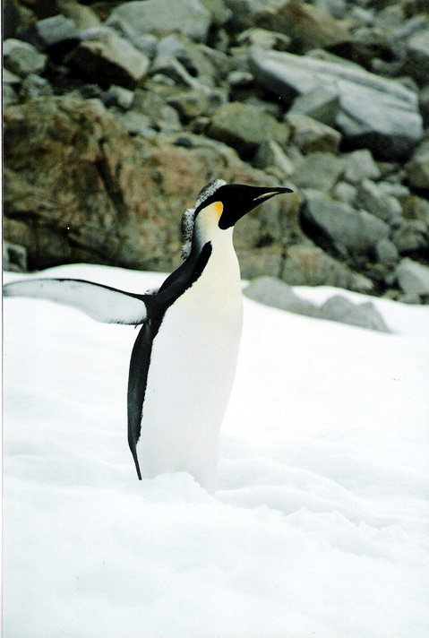 World Travel Photos :: Antarctica :: Antarctica. Emperor Penguin