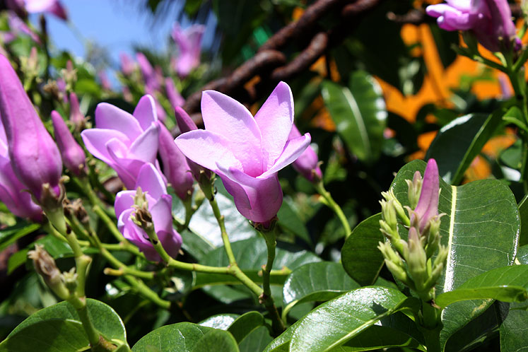 World Travel Photos :: Flowers :: Bahamas. Half Moon Cay - pink flowers