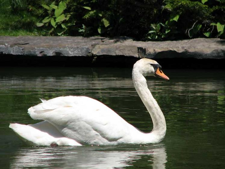 World Travel Photos :: Canada - Nova Scotia - Halifax :: Halifax. Public Gardens - a swan