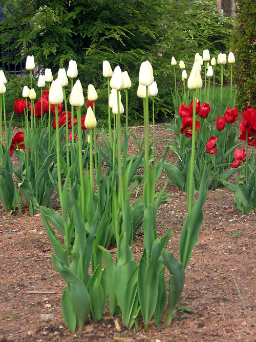 World Travel Photos :: Canada - Nova Scotia - Halifax :: Halifax - tulips in Public Gardens