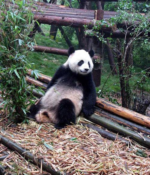 World Travel Photos :: China - Misc :: China. Panda