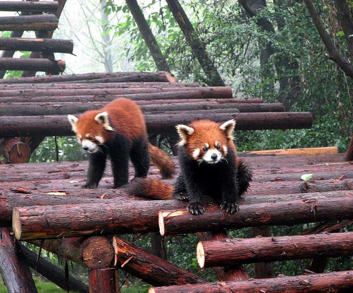 World Travel Photos :: Animals :: China. Red panda