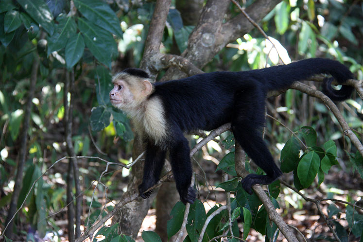 World Travel Photos ::  :: Costa Rica. A  white-headed capuchin in the trees