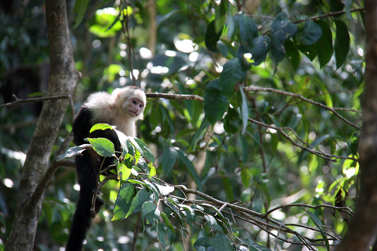 World Travel Photos :: Costa Rica :: Costa Rica. A  white-headed capuchin on the tree