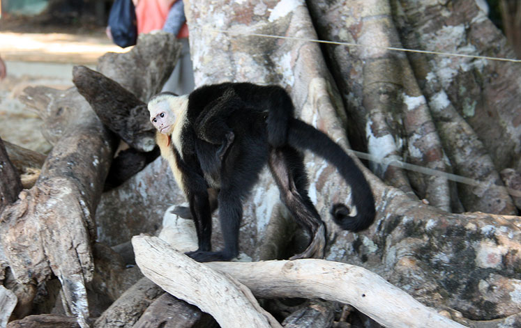 World Travel Photos :: Costa Rica :: Costa Rica. A  white-headed capuchin with a baby