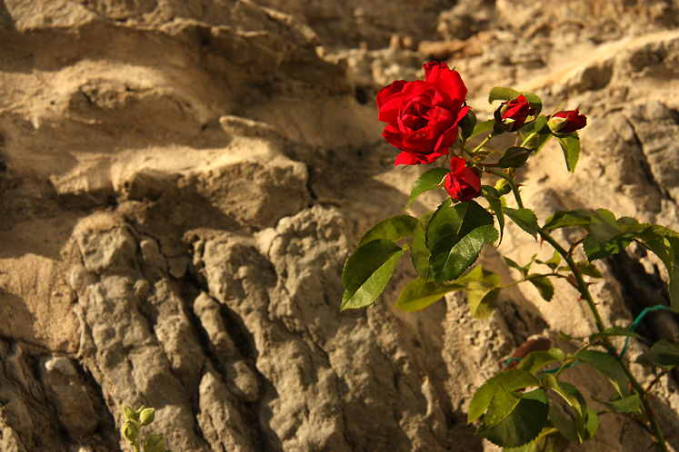 World Travel Photos :: Flowers :: Tallinn - a wonderful rose growing in the old town