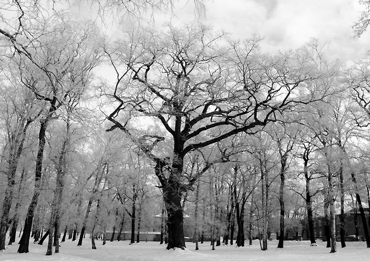 World Travel Photos :: Colors - Blanc :: Tallinn. White trees in winter in Kadriorg