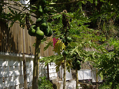 World Travel Photos :: China - Hong Kong - Lamma Island :: Hong Kong. Lamma Island - Papaya