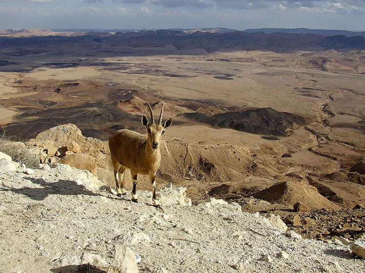 World Travel Photos :: Animals :: Israel. Negev Desert - On the way to Eilat