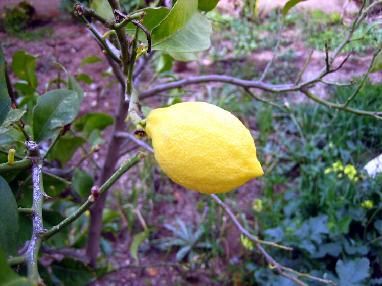 World Travel Photos :: Jareer :: Jordan. Lemon in my Garden!