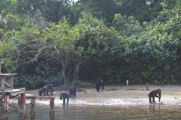 World Travel Photos :: Liberia - Monrovia :: Welcome to Chimpanzee Island, Marshall