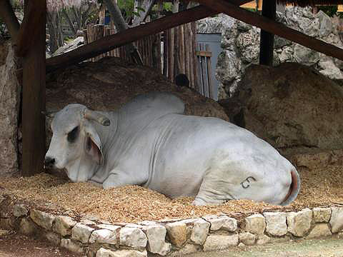World Travel Photos :: Mexico - Cancun :: Cancun. A cow in Xcaret Park