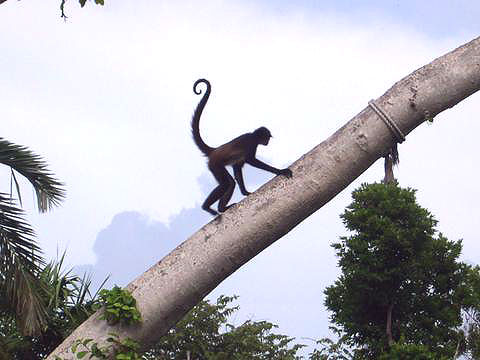 World Travel Photos :: Mexico - Cancun :: Cancun. Monkey in Xcaret Park
