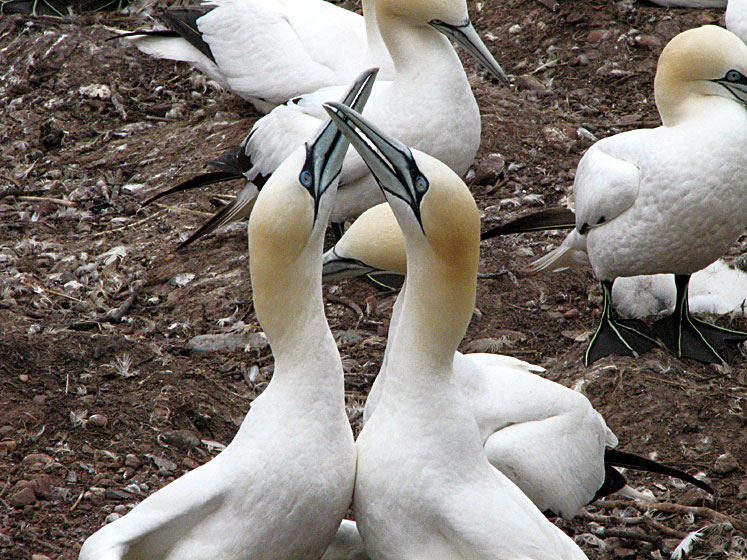 World Travel Photos :: Canada - Quebec - Bonaventure Island :: Quebec. Bonaventure Island - gannets