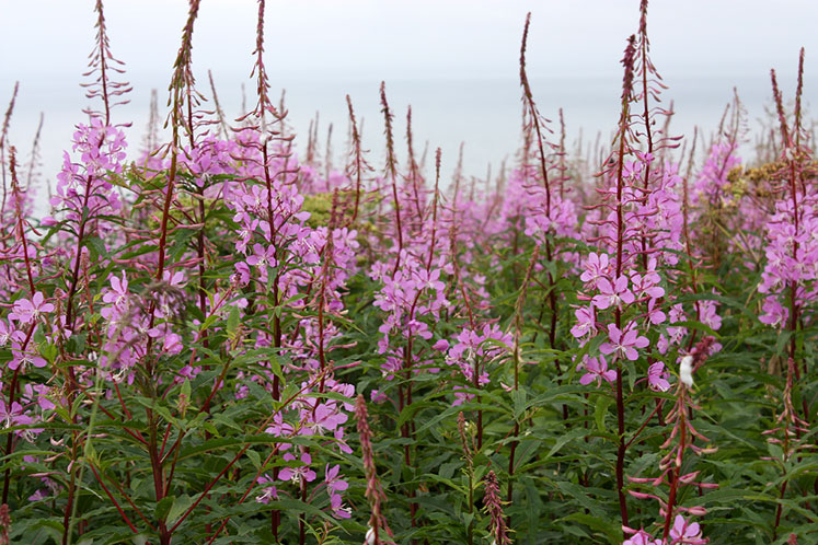 World Travel Photos :: Flowers :: Quebec. Bonaventire Island - pink fireweed