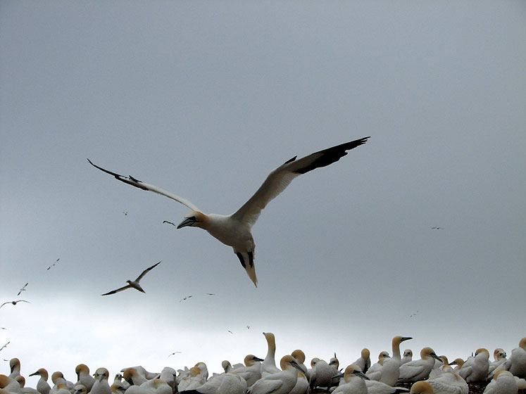 World Travel Photos :: Canada - Quebec - Bonaventure Island :: Quebec. Bonaventure Island - a flying gannet