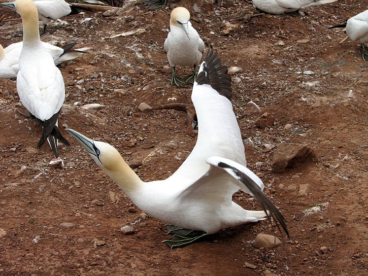 World Travel Photos :: Canada - Quebec - Bonaventure Island :: Quebec. Bonaventure Island - a gannet is stretching his wings