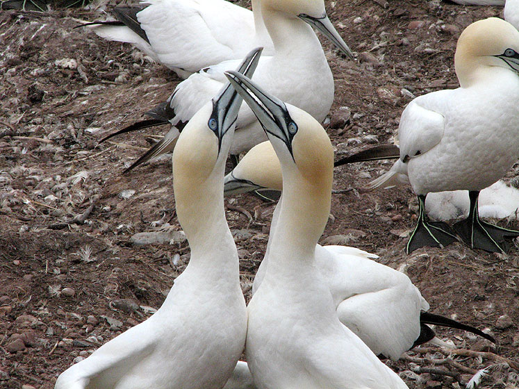 World Travel Photos :: Canada - Quebec - Bonaventure Island :: Quebec. Bonaventure Island - mating gannets