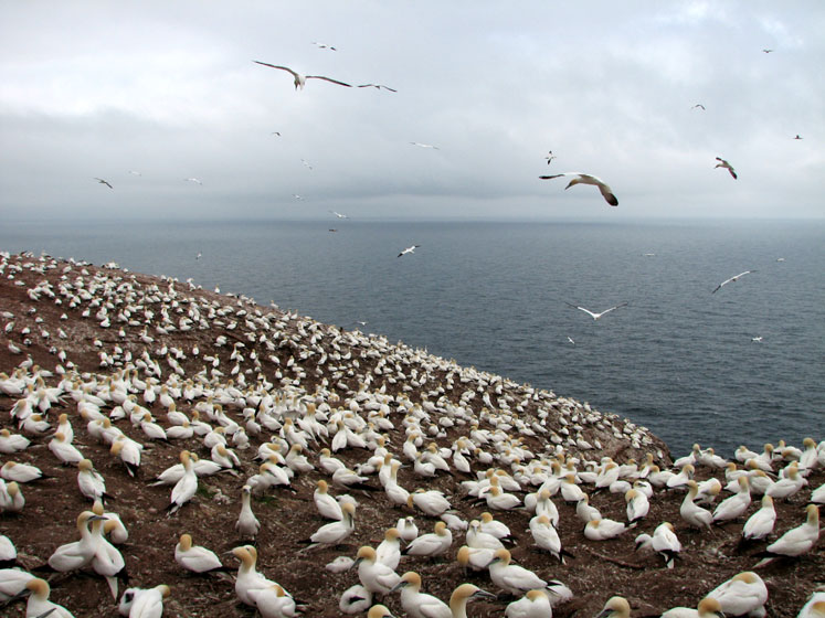 World Travel Photos :: Canada - Quebec - Bonaventure Island :: Quebec. Bonaventure Island - a largest in North America colony of Gannets