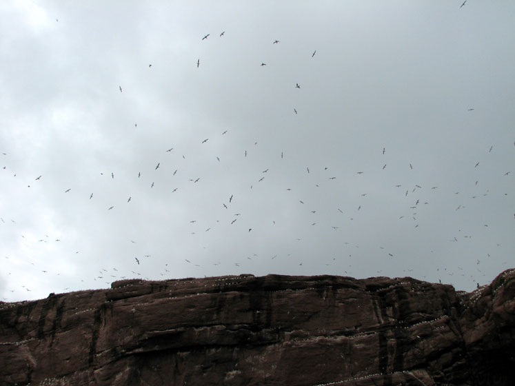 World Travel Photos :: Canada - Quebec - Bonaventure Island :: Quebec. Bonaventure Island (île Bonaventure) - seagulls and gannets flying above the cliffs