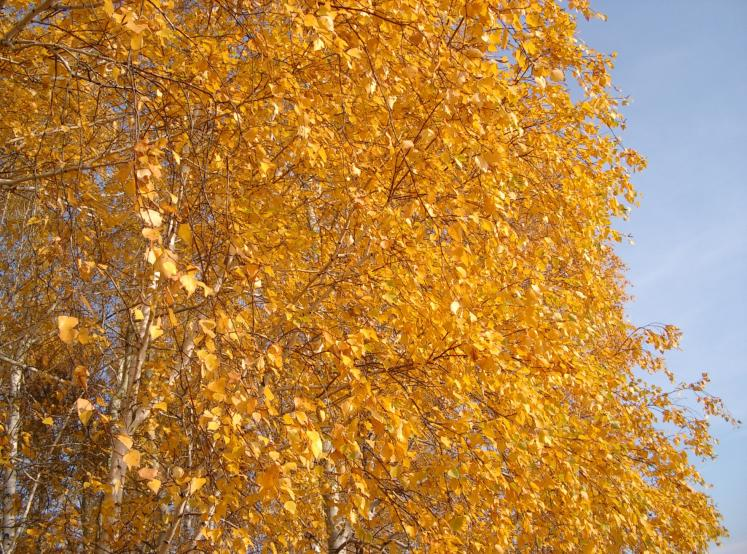 World Travel Photos :: Colors - Jaune :: Russia. Omsk District - Autumn Gold