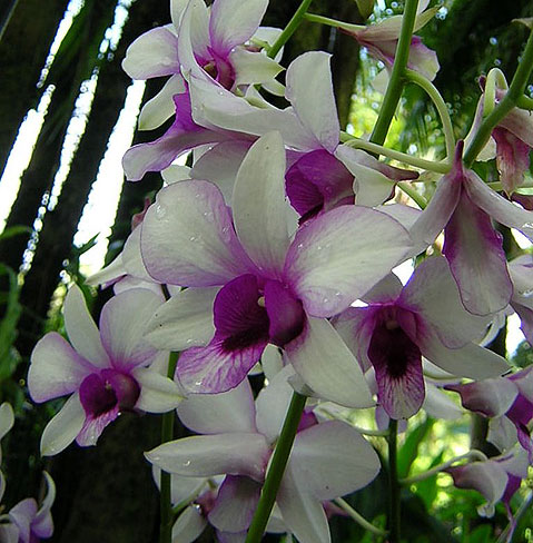 World Travel Photos :: Flowers :: Singapore. Orchids