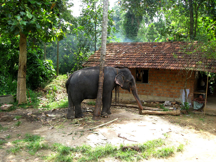 World Travel Photos :: Animals :: Sri Lanka. Retired elephants´ nursery