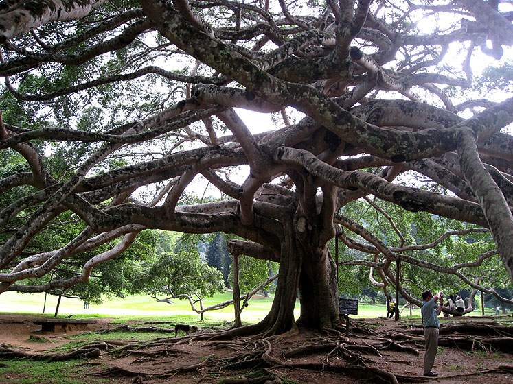 World Travel Photos :: Sri Lanka :: Sri Lanka. A tree in Botanical garden