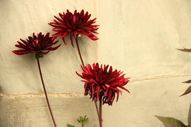 World Travel Photos :: Flowers :: Drottningholm Palace - dahlias growing along the palace walls